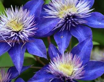 PURPLE  CLEMATIS FLOWERS 5x7 photo greeting card blank inside