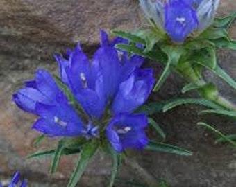 Grassy Bells Seeds, Edraianthus graminifolius, Perennial Plant