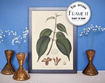 """Vintage illustration of Black Camphor - framed fine art print, botanical art, 8""""x10"""" ; 11""""x14"""", FREE SHIPPING - 67"""