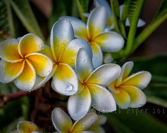 Plumeria, Color Photography, Landscape Photography, Nature, White and Yellow Flowers