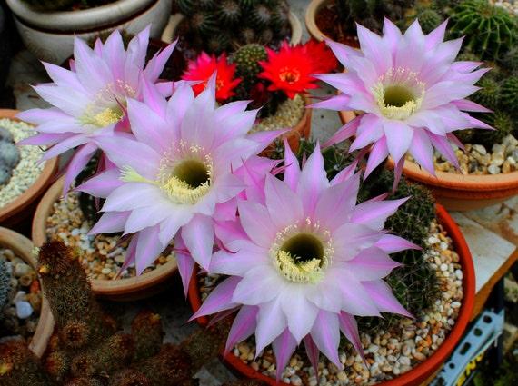 Cactus seeds 40 seeds echinopsis pink flowers cacti succulent mightylinksfo