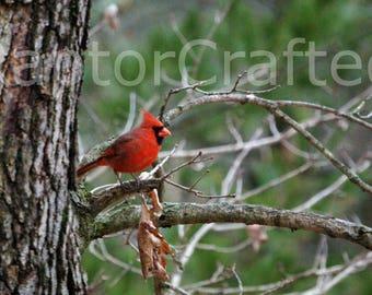 Fine Art Print, Wall Art, Nature Photography: Cardinal