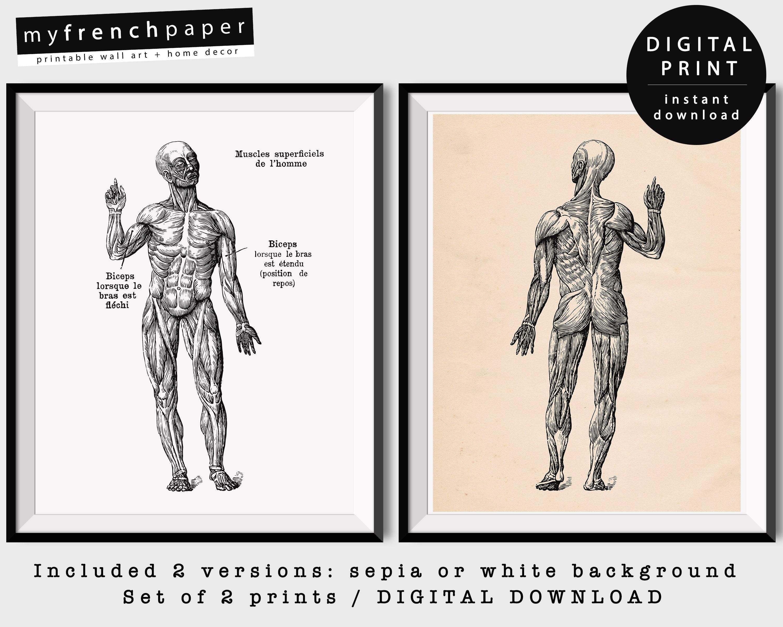 Charmant Muskeldiagramm Mensch Galerie - Menschliche Anatomie Bilder ...