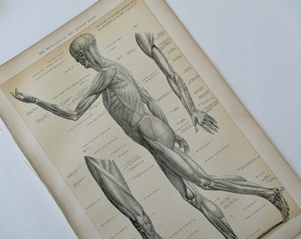 1900s original page - 1905 MEDICAL CHART from antique medical book - muscular, muscles, human body