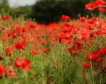 Poppy Fields, digital download of poppies