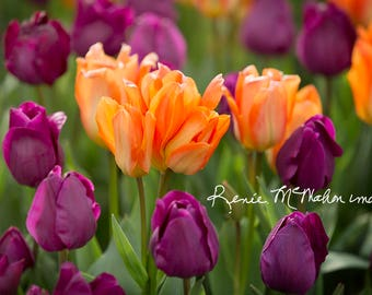Flower photography, large wall art, Colorful wall decor, flower print, tulip photo, bedroom art, nature photo, home decor, office decor,