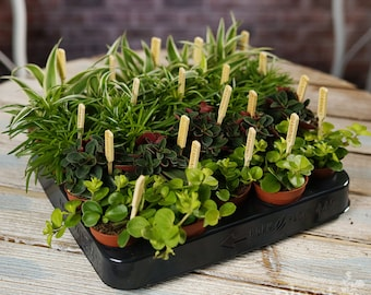 House Plant Mix - Plants - House / Office Live Indoor Pot Plant - Ideal Wedding Favour Party Gifts