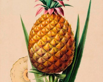 antique french botanical print ananas pineapple tropical fruit illustration digital download
