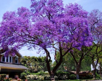 Royal Empress Tree Seeds, Paulownia tomentosa - 25 Seeds