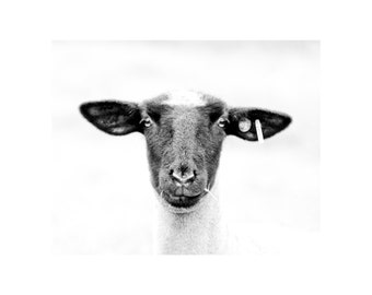 Sheepishly Fine Art Photography Black and White farm animal country Ranch house chic home decor nursery Sheep  quirky funny lamb