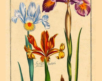 Iris Poster ~ Farmhouse Garden Art ~ Botanical lithograph ~ Vintage Flowers ~ Floral poster ~ Irises Print ~ Antique Flower Picture