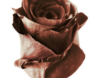 "Exotic #Valentine's Day, #Chocolate #Rose: The Mysterious ""Black Bacarra Rose"" ~ #Print ~ #Watercolor #Paper"