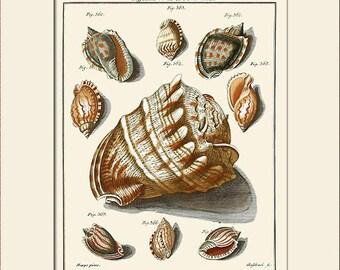 Vintage Sea Shell Print, Plate 35, Art Print with Mat, Note Card, Natural History Illustration, Wall Art, Nautical Art, Costal Decor