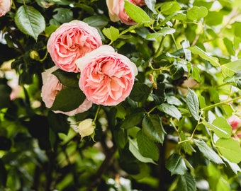 "Flower Photography, ""Pink Teacup Rose Bush"", Gallery Wall Art Prints, Home Decor"
