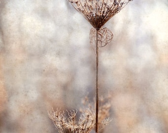 "Queen Anne's Lace in Winter Flower Print 9"" X 12"" Fine Art Photography, November Memories, Wildflower"