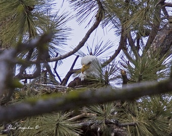 Eagle in the nest, 8 x 10 Original Fine Art Photography