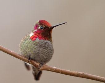 Little Gem - Anna's Hummingbird