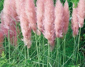 Five Pink Pampas Grass  - 5 Live Fully Rooted Perennial Plants by Hope Springs Nursery - Cortaderia selloana Rosea
