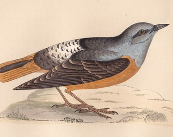 Antique Rock Thrush print . original old vintage bird plate woodblock . vol III, dated 1853 art specimen illustration