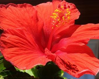 Flower Photography, Hibiscus Photo Print, Red Flower Wall Art, Tropical Home Decor, Beach Wall Art, Botanical Art Print, FREE SHIPPING
