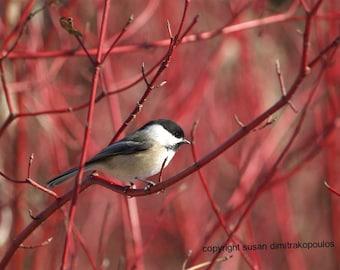 Vogel Meise Karte, Meise auf Hartriegel Fotographie, Grußkarte schreiben eigene msg, Cranberry, rot, tan, Baum, schwarz, weiß