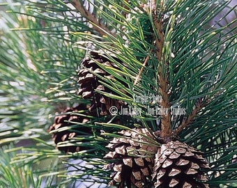 Pinus sylvestrus 10 Seeds Scots Pine Tree Also Scotch Pine Blue-green needles Tolerant of poor soil and extreme cold Bonai or Standard