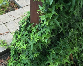 Organic Live California USA Asterisk Ivy Cuttings
