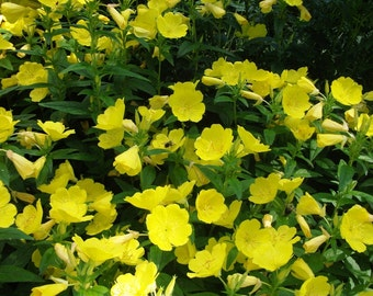Pre-order for Spring 2018/ 3 Live Evening Primrose Plants - Rooted Plants, Beautiful Yellow Blooms, Hardy Perennial Plants