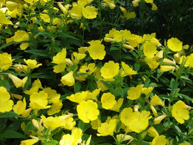 3 live evening primrose plants 12 to 18 inches tall rooted zoom mightylinksfo
