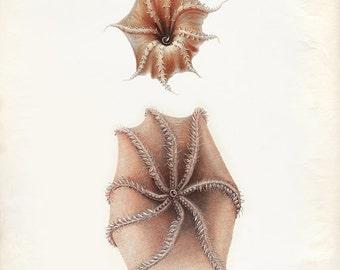 Vintage Octopoda Print 8x10 P268
