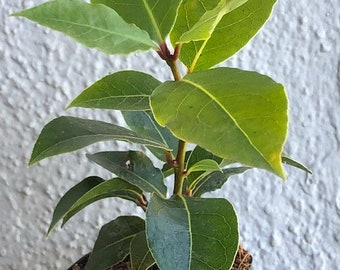 Bay Leaf Tree, potted, live plant, leaves used in soups & stews, FREE SHIPPING, Laurus Nobilis
