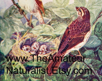 1902 Vintage Illustration, Birds and Nest with Eggs, Antique Print, Digital Download