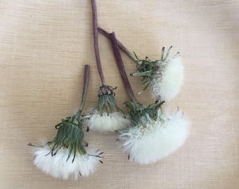 Dried Dandelions, 10 Dried Flowers, Wedding Decorations, Biodegradable, Craft Supplies, Real Flowers, Wildflowers, Natural Decor, Natural