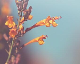 Apricot Hyssop Color Photo Print { orange, sprite, blue, sky, flower, sunshine, sunlight, wall art, macro, nature & fine art photography }