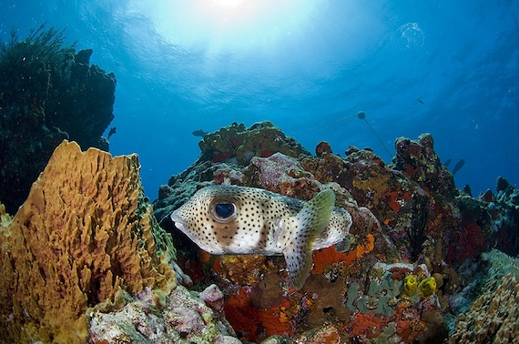 Tropical Fish Art Underwater Photography Reef Scene Porcupinefish and Coral Reef - Bright Colorful Nautical Decor