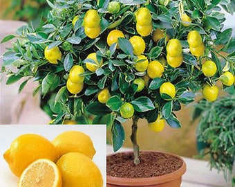 15 Edible Fruit Meyer Lemon Seeds, Exotic Citrus Bonsai Lemon, Tree Fresh Seeds, Lemon Tree, Lemon Seeds, Fruit Tree, Indor Tree Bonsai,