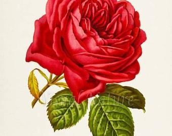 Red Rose Flower Art Print, Botanical Art Print, Flower Wall Art, Flower Print, Floral Print, Red Rose Art Print, Home Decor