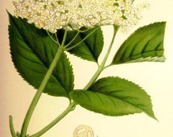 Artisan Copper Distilled Wildharvested Elderflower Hydrosol 4 oz