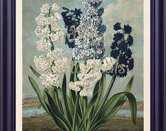 THORNTON Large Botanical 11x14 Print  Vintage Art Plate Blue White Flowers HYACINTHS The Temple of Flora 1807 Antique Engraving Decor LP0058