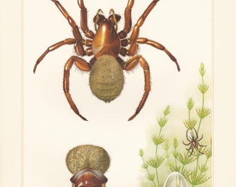 Vintage lithograph of the diving bell spider from 1956
