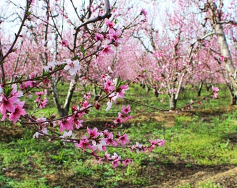 Blossom Trail, Fruit Trees, Pink Flowers, Nature, Orchards, Sanger, Central Valley, California