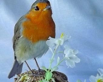 Real taxidermied European robin (Erithacus rubecula)\ Stuffed bird \ Mounted bird