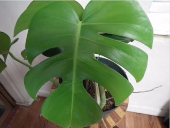 Live Monstera Split Leaf Philodendron Plant Tropical