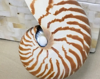 Seashell Night Light - Choose a Nautilus, Scallop Shell, Sand Dollar with Starfish or a Conus Shell