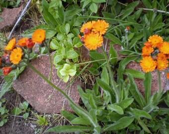 2 Orange Hawkweed Wildflower plants organically raised in Norfolk,England,Pilosella Aurantiaca