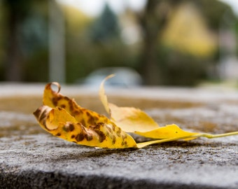 Single Yellow Brown Curling Leaf Fall Autumn Colorful Seasonal Fine Art Photo Print Home Wall Decor by Rose Clearfield on Etsy