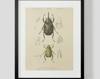 Vintage Insect Coleopteres Entomology Plate 5B