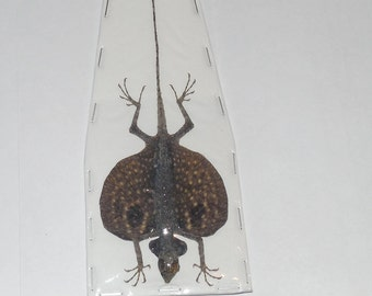 Male DRACO VOLANS Volans Flying Lizard  Taxidermy Fast Ship