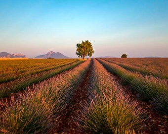 France Photography A lavender field in Provence almond trees mountains in distence fine art print
