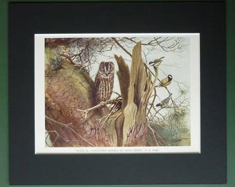 1930s Antique Natural History Picture of a Tawny Owl by George Edward Lodge